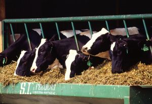 800px-Holstein_dairy_cows[1]